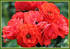 Roses From My Garden For You (bigbrowneyez) Tags: roses firechief red gorgeous bright beautiful myfrontgarden front garden bouquet precious fantastic miogiardino striking tribute perfect frame cornice nature natura dedication flickrfriends lovely rich blossoms buds