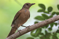 Creamy-bellied Thrush (Alan Gutsell) Tags: bird birds birding brazil wildlife nature alan southamerica creamybellied thrush creamy bellied campinas