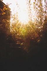 Sunburst (flicspics) Tags: light sunlight sunburst sunshine sunrays rays raysoflight sun glitter shimmer dust orbs gold warm season summer devon england uk britain greatbritain unitedkingdom rural bokeh flicspics