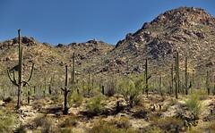 Saguaro Cactus with a Backdrop of the Tucson Mountains (thor_mark ) Tags: nikond800e day3 saguaronationalpark saguaronationalparktucsonmountaindistrictwest lookingnne desert desertlandscape sonorandesert desertplantlife outside nature saguaro cactus carnegieagigantea saguarocactus arborescenttreelikecactus cactusacrossdesertlandscape landscape mountains mountainsindistance mountainsoffindistance capturenx2edited colorefexpro aroundvisitorcenter intermountainwest southwestbasinsandranges northsonorandesertranges westtucsonnogalesarea tucsonmountains project365 cactusflowers topofsaguarocactus ruggedlandscapes redhillsvisitorcenter paloverde arizona unitedstates
