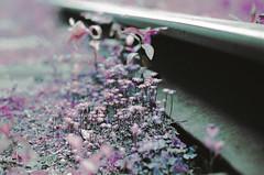macro palmtrees (inmno) Tags: lomochrome purple lomography aerochrome minolta ishootfilm