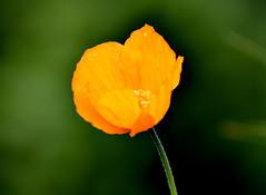 Bright Orange. (pstone646) Tags: californianpoppy nature flower flora poppy kent orange colour bokeh plant closeup