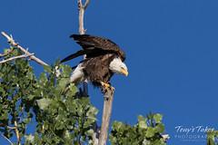 Bald Eagle takes a bow, stretches
