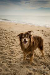 SZP_8826_pslr5 (Lakeside Annie) Tags: 2017 20170719 aussie australianshepherd bethanybeach bethanybeachde bethanybeachdelaware d7100 delaware denali july19 leannefzaras nikon nikond7100 redtri redtriaussie sarazphotography sigma sigma1770mm wednesday beachdog dog sandynose sandypaws beach delawarebeach