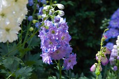 Delphiniums @ Riverhill Gdns (Adam Swaine) Tags: flora flowers riverhillgardens nature gardens kent uk ukcounties england english petals britain beautiful canon summer colours