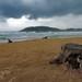 Mirissa - 2 Stray Dogs On The Beach