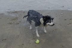 Spin dry. . . (Elsie esq.) Tags: beach collie englishchannel shanklin susie water wet