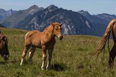 En sécurité ... (safe) (Larch) Tags: poulain colt cheval horse alpage mountainpasture montagne mountain alpes alps jeune young head tête tail queue timide shy hautesavoie plateaudecénise