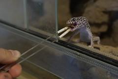 20170626X1902_Leopardengecko_0013 (RascheBilder) Tags: leopardgecko raschebilder