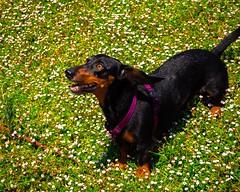 ~El perro es el único animal en la tierra que te ama más, que a si mismo.~ #uma #dog #teckel #dachshund #holydays #summer #olympus (poler2002) Tags: summer uma olympus teckel dachshund holydays dog