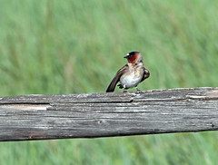 Cliff Swallow (Petrochelidon pyrrhonota) (TG23-Birding in a Box) Tags: cliffswallow petrochelidonpyrrhonota swallows swallow wyoming grandtetonnationalpark