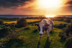 Moooooove along... nothing to see here... (Kerriemeister) Tags: anglesey wales cow cattle sunset sky clouds light fields sea coast coastal animal