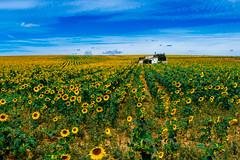 Golden Sea (Walimai.photo) Tags: golden dorado yellow amarillo jeune girasol sunflower castellanos de villiquera salamanca spain españa panasonic lx5 lumix flor flower campo field
