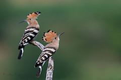 07-8356 (fix.68) Tags: huppefasciée oiseau