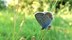 The king [Polyommatus icarus] (Alessio Bertolone) Tags: butterfly farfalla polyommatusicarus bokeh macro primopiano clouseup king re colori colors caluso it italy italia piemonte