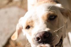 Dog fun! (Denis Bourez) Tags: olympus omd em5 animal dog chien labrador sabran languedocroussillon france fr