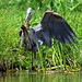 DSC_1185=2GBHeron-Explored (laurie.mccarty) Tags: greatblueheron heron wildlife outdoor nature bird animal action frog bullfrog water nikond810 nikon