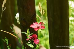 Zaunkönig (grafenhans) Tags: sony alpha 700 alpha700 a700 tamron 2590 makro macro blüte blüten garten zaun sommer licht schatten grafenwald bottrop nrw