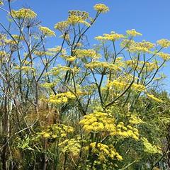 The Fennel (melystu) Tags: invasive aggressive fennel wild flower yellow umbrella weed california europe