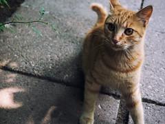 Street cat 201 (Igor A.T.) Tags: cat cats кот кошка котка kedi chat feline kat katze katzen kot kotka pet felino kottur katte kass kitty gato kocka gatta katzchen redcat orangecat nx300 streetcat