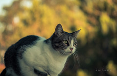 Simba (ruicâmara) Tags: simba cat bokeh bubblebokeh helios44 58mm f2 fujifilm xt2 xtrans rui câmara lovecats awesomelens vintage lens portrait
