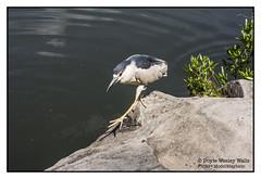 Sure-footed Bird, Central Park (Doyle Wesley Walls) Tags: lagniappe 8043 bird walking photograph nikon water rock nature centralpark newyorkcity doylewesleywalls shadow eye beak feathers