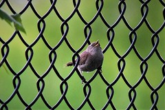 Sedge Wren (marensr) Tags: sedge wren cistothorus platensis west ridge nature preserve bird chain link fence