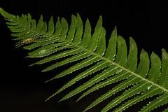 Doodia aspera (andreas lambrianides) Tags: doodiaaspera blechnaceae pricklyraspfern australianflora australiannativeplants australianrainforests australianrainforestplants arffern australianferns australianfern australianfernsandfernallies qrfp nswrfp doodia ferns fern australiannativeferns openforest arfp vrfp australianrainforestferns marginalarf blechnumneohollandicum