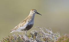 Dunlin (J J McHale) Tags: dunlin calidrisalpina bird scotland highlands nature wildlife