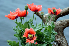 DSC07951 - Poppies (archer10 (Dennis) 101M Views) Tags: sony a6300 ilce6300 18200mm 1650mm mirrorless free freepicture archer10 dennis jarvis dennisgjarvis dennisjarvis iamcanadian novascotia canada fergusonscove halifaxharbour poppies