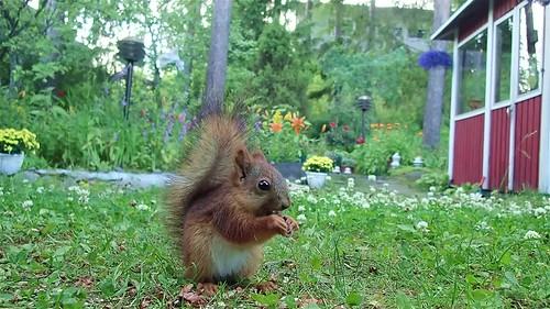Juvenile squirrels swift reaction to hedgehog