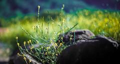 Beautiful Yellow Bokeh (c.sorelle) Tags: ca cali california bnw black white hike nature natgeo nationalgeographic bokeh art canon killer instagram walksoflife awol b los angeles losangeles colors chinese canyon country cute vasquez beautiful blue behindthescenes boobs brooklyn queens wilderness world west wallpaper wild worldview winter desert abandoned urbex urban explore