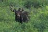 Bull Moose (Amy Hudechek Photography) Tags: nikond500 bull moose animal nature wildlife forest colorado evening light grandmesa amyhudechek summer
