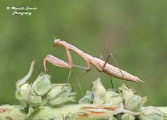 Mantis religiosa (Linnaeus, 1758) ♀