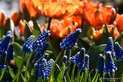 2017-04 Tulpen in overvloed in de Tulpenhof - Lisse/NL (About Pixels) Tags: 0409 2017 aboutpixels holland keukenhof lenteseizoen lisse mnd04 nikond7200 nl nederland netherlands nikon specials springseason zuidholland algemeen april art beeldendekunst blauwedruifjes bloemenpark bol bolgewas bulb collecties flora fotografie kunst muscaribotryoides nature natuur photography plant tulip tulips tulp tulpen visualarts