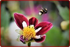 Flying (Ioan BACIVAROV Photography) Tags: bacivarov ioanbacivarov bacivarovphotostream interesting beautiful wonderful wonderfulphoto nikon journalism photojournalism fleur floare albina