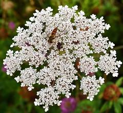 Hoverfly (Bazza3000) Tags: episyrphusbalteatus hoverfly