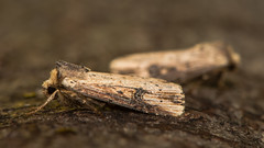 The flame moth (Axylia putris) at rest on bark (Ian Redding) Tags: axyliaputris british european lepidoptera noctuidae theflame uk animal bark flame flamemoth insect moth nature tree wildlife wood