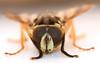 13.5 mm hornet mimic fly (ophis) Tags: diptera aschiza syrphidae eristalinae milesiini temnostomina temnostoma temnostomaalternans mimic hornetmimic