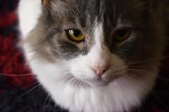 Chicho (camilamonzerrat) Tags: cats cat animal lovecats catlover lovephotography felinos gatos