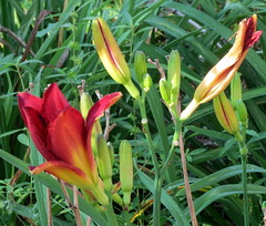 Sunshine On Day Lilies. (dccradio) Tags: lumberton nc northcarolina robesoncounty outside outdoors plant nature greenery leaves foliage leaf flower flowers floral flowergarden flowerbed canon powershot elph 520hs daylily daylilies sunshine summer summertime