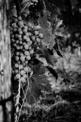 Chardonnay grapes in ripening! (Simona e Graziano) Tags: bn bnw bw blackandwhite blackwhite black white noir noirblanc grapes wine grey mono monocrome fujifilm fuji xt10 blancoynegro negro blanco wood nature naturaleza chardonnay