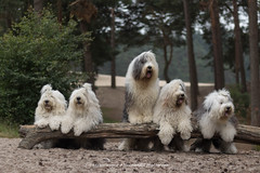 Ah there is Amy, are there comimng anymore ? (dewollewei) Tags: oldenglishsheepdog oldenglishsheepdogs oes old english sheepdog sheepdogs bobtail dewollewei wickedwisdoms five dogs fluffy adorable cute friends company waiting