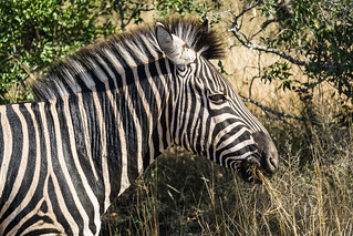 Zebra Chewing on a Mouthful of Grass in Africa