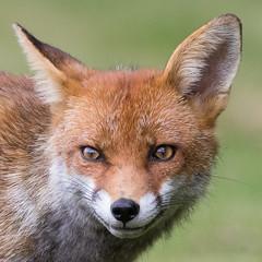 Fox (cogs2011) Tags: fox canon sigma 150600c grin nature