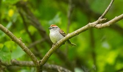 2U7A2976 (rpealit) Tags: scenery wildlife nature delaware water gap national recreation area chipping sparrow bird
