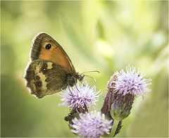 Gatekeeper (Charles Connor) Tags: gatekeeperbutterfly gatekeeper butterflies flyinginsects insects insectphotography insectmacro macro macrophotography closeups colourful canon100400lens canon7dmk11