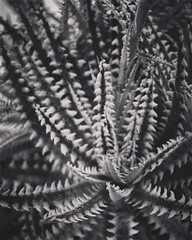 Abstracted Succulent In Black and White Los Angeles Cactus & Succulent Society Plant Show & Sale 2017 (lacactus.com) Spent an hour or so at the show on Saturday checking out all the great vendors and plants. #succulents #garden #plants #nature #LA #losang (dewelch) Tags: ifttt instagram abstracted succulent in black white los angeles cactus society plant show sale 2017 lacactuscom spent an hour or saturday checking out all great vendors plants succulents garden nature la losangeles california iglosangeles losangelesgram whereamila instalosangeles caligrammers lagrammers losangelesgrammers discoverla conquerla unlimitedlosangeles californiacaptures uglagrammers iggarden flowersofinstagram flowerstagram treestagram rainbowpetals plantstagram