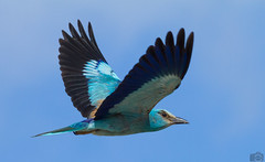 European Roller (JackTorva) Tags: european roller ghiandaia marina color colors animal bird wildlife nature ngc lol italy flight volare volo sky cielo canon 7d 200mm 28l