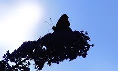...Tagpfauenauge (jueheu) Tags: tagpfauenauge schmetterling butterfly insekt insect gegenlichtaufnahme gegenlicht flieder blüte blume flower sonne sun sonnenlicht sommer blau schatten shadow blue flügel fühler wing wildlife wildlifephotographie fotografie natur natura nature purenatur deutschland duitsland germany schüttorf grafschaftbentheim niedersachsen